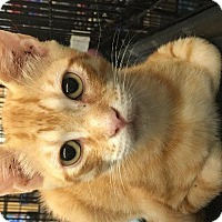 Domestic Shorthair Cat for adoption in Spring, Texas - Spidey
