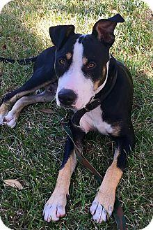 Labrador Retriever/Pit Bull Terrier Mix Dog for adoption in Houston, Texas - Maddox