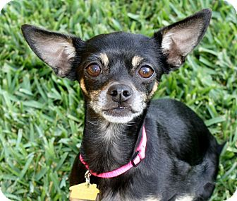 Miniature Pinscher/Chihuahua Mix Dog for adoption in Bellflower, California - Victoria - I'm an easy dog!