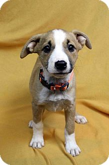 Shepherd (Unknown Type) Mix Puppy for adoption in Westminster, Colorado - NAOMI
