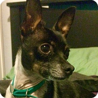 Rat Terrier Dog for adoption in Elko, Nevada - Jax (NV)