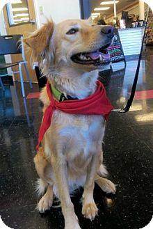 Golden Retriever Mix Dog for adoption in Minnetonka, Minnesota - Dory