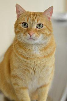 Domestic Shorthair Cat for adoption in Atlanta, Georgia - Tango161895