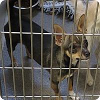 Adopt A Pet :: Macy - Tracy, CA
