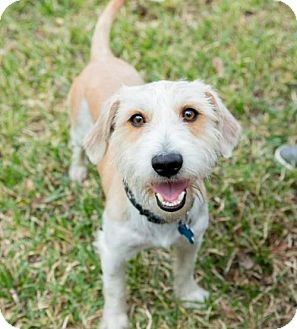 Standard Schnauzer Mix Dog for adoption in Houston, Texas - Clint