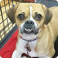 Adopt A Pet :: Sir Knight - Las Vegas, NV