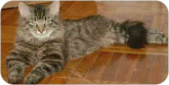 Domestic Mediumhair Kitten for adoption in Etobicoke, Ontario - Sammy
