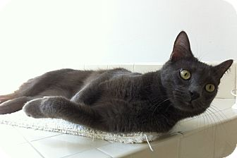 Domestic Shorthair Cat for adoption in Speonk, New York - Ming