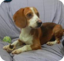 Beagle Dog for adoption in Antioch, Illinois - Scout ADOPTED!!