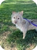 Terrier (Unknown Type, Small)/Terrier (Unknown Type, Small) Mix Dog for adoption in Valley Village, California - CAFE
