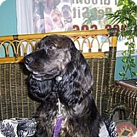 Cocker Spaniel Dog for adoption in Fort Lauderdale, Florida - ZIGGY