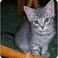 Adopt A Pet :: Persian Mix Kitten - Davis, CA