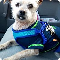 Adopt A Pet :: Chico - North Bend, WA