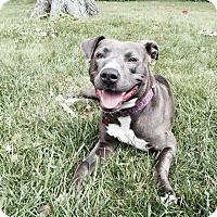 Adopt A Pet :: Karly Mae - Dearborn, MI