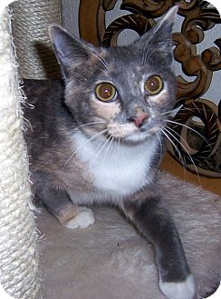 Calico Cat for adoption in Oklahoma City, Oklahoma - Cher