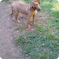 Adopt A Pet :: Tiper - Phoenxville, PA