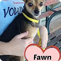 Adopt A Pet :: 347573 Fawn - San Antonio, TX