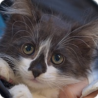 Adopt A Pet :: Aveline - Brooklyn, NY