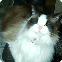 Adopt A Pet :: Fiona - Novato, CA