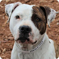 Adopt A Pet :: Marie-Low fees,spayed/chipped - Red Bluff, CA