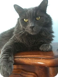 Russian Blue Cat for adoption in Sherman Oaks, California - Bella J