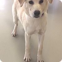 Labrador Retriever Dog for adoption in Decatur, Alabama - Marie