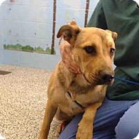 German Shepherd Dog Mix Dog for adoption in San Bernardino, California - URGENT on 10/25 SAN BERNARDINO