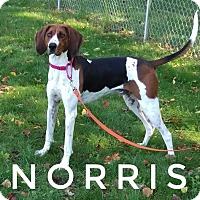 Treeing Walker Coonhound Dog for adoption in Kendallville, Indiana - Norris