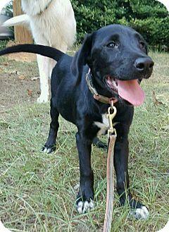 Labrador Retriever Puppy for adoption in Gainesville, Georgia - Starr
