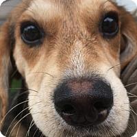 Adopt A Pet :: Arya - Warrenville, IL
