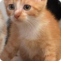 Domestic Shorthair Kitten for adoption in DuQuoin, Illinois - Leonardo Dicatrio