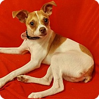 Chihuahua/Boston Terrier Mix Puppy for adoption in Verona, New Jersey - Squirrel