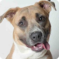 Pit Bull Terrier Mix Dog for adoption in Ukiah, California - SANDY
