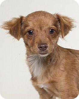 Spaniel (Unknown Type)/Dachshund Mix Dog for adoption in Pt. Richmond, California - ODYSSEY