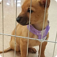 Adopt A Pet :: Irene - Hillside, IL