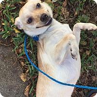 Adopt A Pet :: Ceci - Ocean Ridge, FL