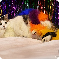 Adopt A Pet :: Squeaker - St. Louis, MO