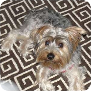 Yorkie, Yorkshire Terrier Puppy for adoption in Normal, Illinois - Jagere