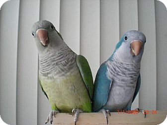 Parakeet - Quaker for adoption in St. Louis, Missouri - Sugar & Baby