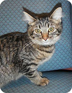 Domestic Mediumhair Kitten for adoption in Jackson, Michigan - Molly