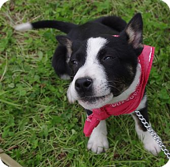 Border Collie/Labrador Retriever Mix Puppy for adoption in Groton, Massachusetts - Lulu