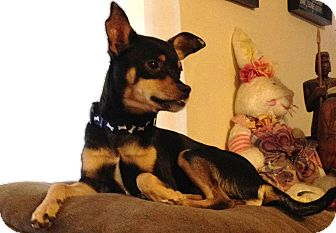Miniature Pinscher Mix Dog for adoption in Las Vegas, Nevada - Alfie