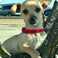 Adopt A Pet :: Tootie - Bridgeton, MO