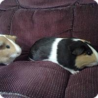 Adopt A Pet :: Sam & Dave - San Antonio, TX