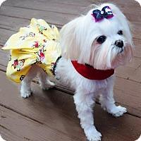 Adopt A Pet :: Tippy - Springfield, VA