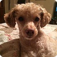 Adopt A Pet :: Mitzi - Fairview Heights, IL