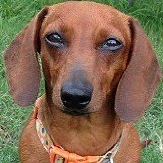 Dachshund Dog for adoption in Houston, Texas - Prissy Pinklady