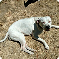 Pit Bull Terrier Mix Dog for adoption in La Habra, California - Leche (Courtesy List)