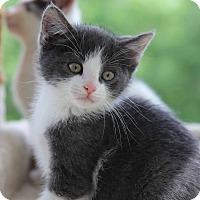 Adopt A Pet :: Sherman - Gainesville, VA