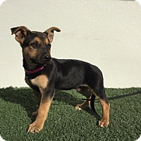 Adopt A Pet :: Scooby - Studio City, CA